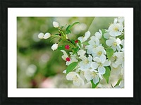 Crabapple Blossoms Picture Frame print