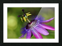 Purple Passion Picture Frame print