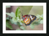 Leopard lacewing  Picture Frame print
