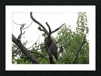 Fierce Bald Eagle Picture Frame print