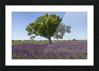 Tree in a lavender field Picture Frame print