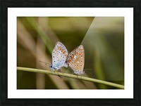 Coupling of common blue Picture Frame print