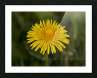 Dandelion macro Picture Frame print