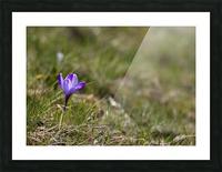Crocus Picture Frame print