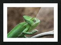 Funny pose of a chameleon Picture Frame print