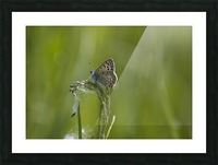 Common blue butterfly Picture Frame print