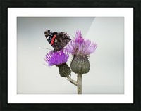 Red amiral butterfly Picture Frame print