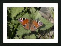 European peacock butterfly Picture Frame print
