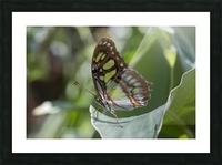 Malachite butterfly Picture Frame print