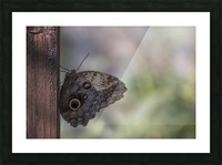 Owl butterfly Picture Frame print