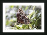 Morpho peleides butterfly Picture Frame print
