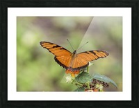Julia heliconian butterfly Picture Frame print
