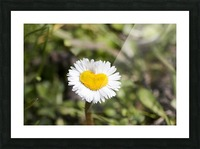 Heart shaped daisy Picture Frame print