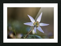 Dogtooth violet Picture Frame print