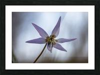 Dogtooth violet Picture Frame print