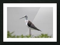 Black winged stilt Picture Frame print