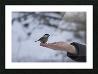 A bird on the hand Picture Frame print