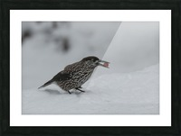 Spotted nutcracker in the snow Picture Frame print