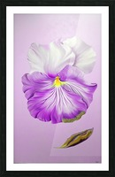 Purple Pansy Picture Frame print