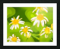 My Daisies - Mes Marguerites Picture Frame print