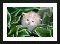 Orange Kitten Picture Frame print