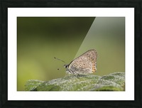 Lycaena tytirus butterfly Picture Frame print