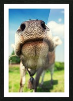 funny nose of a curious cow Picture Frame print
