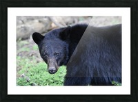 2350- black bear Picture Frame print