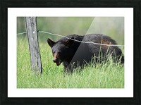 2966-Black Bear Picture Frame print