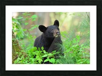 3597-Black Bear Impression et Cadre photo