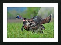 7_Gobbling Turkey Picture Frame print