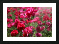 Never-ending Roses  Picture Frame print