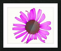 Daisy 3 Picture Frame print