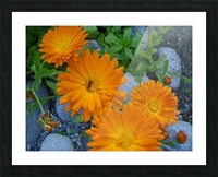 Orange Daisies & Bee Picture Frame print