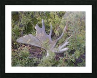 Moose antler Picture Frame print