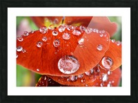 Raindrops On Orange Pansy Petal Photograph Picture Frame print