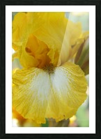 Yellow Iris Photograph Picture Frame print