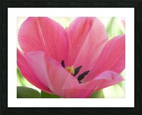 Beautiful Pink Tulip Photograph Picture Frame print