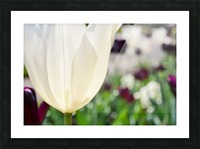 White Tulip Photograph Picture Frame print