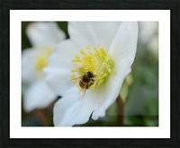 Bee On White Flower Photograph Picture Frame print