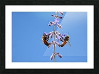 Two Bees On Vine Photograph Picture Frame print