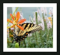 Butterfly On An Orange Flower Photograph Picture Frame print