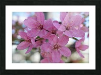 Pink Dogwood Photograph Picture Frame print