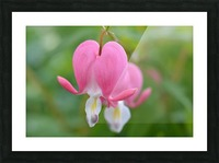 Bleeding Heart Flower Photograph Picture Frame print