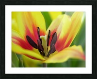 Yellow Tulip Photograph Picture Frame print