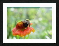 Bee On Orange Flower Photograph Picture Frame print