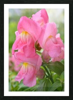 Pink Snapdragon Photograph  Picture Frame print