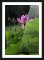 Lotus Picture Frame print