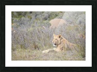 Lioness Picture Frame print