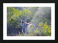 Deer Posing for Photo Picture Frame print